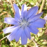 cicoria, fiori di bach, naturopatia
