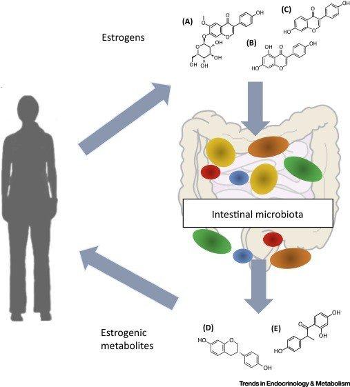 Disbiosi, estroboloma e patologie estrogeno-dipendenti